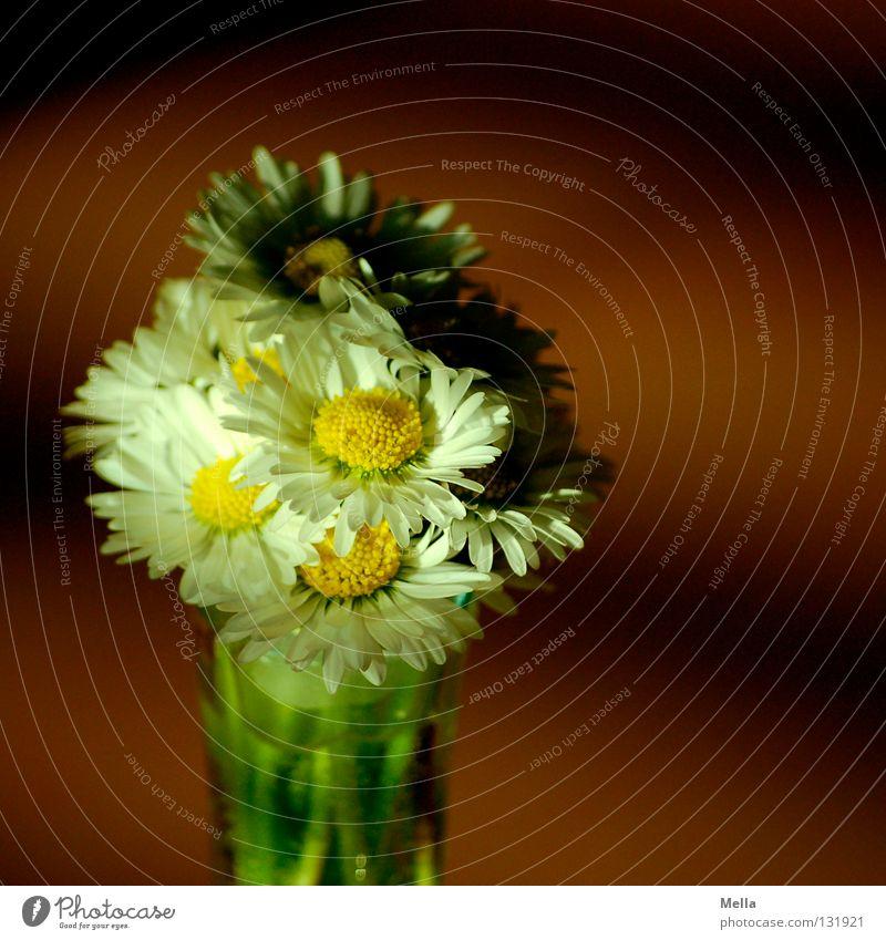 Licht und Schatten Blume Gänseblümchen Blumenstrauß Freude Souvenir weiß gelb Muttertag Vase Frühling sprießen Wachstum gepflückt Pflanze ökologisch Umwelt