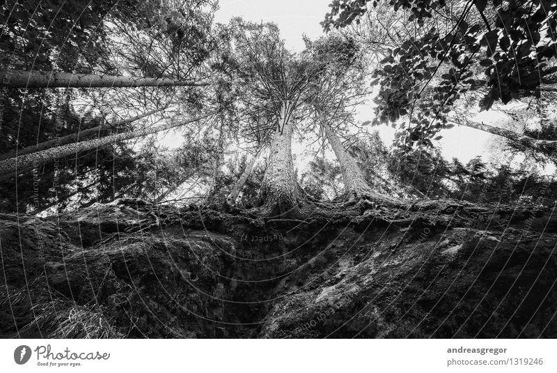 Machtverhältnisse Natur alt Pflanze weiß Baum Wald schwarz Umwelt Gefühle natürlich Tod grau Denken träumen Wachstum Kraft