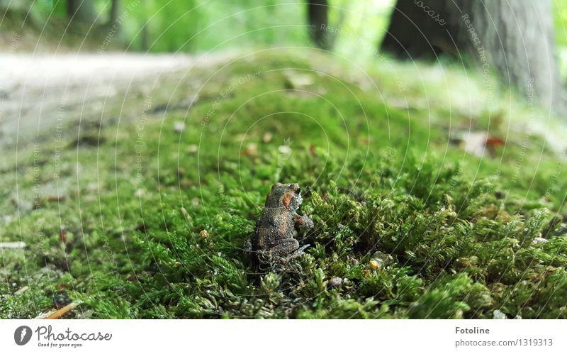 Tarnung: ausgezeichnet! Umwelt Natur Pflanze Tier Urelemente Erde Herbst Moos Wald Frosch 1 klein nah natürlich sitzen Kröte Erdkröte grün Farbfoto mehrfarbig