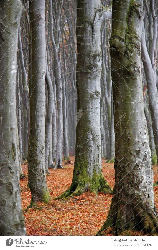 Gespensterwald Landschaft Herbst Baum Park Wald Buchenwald Laubwald Laubbaum grau grau-rot Stab Wege & Pfade Holz alt ästhetisch authentisch bedrohlich dunkel