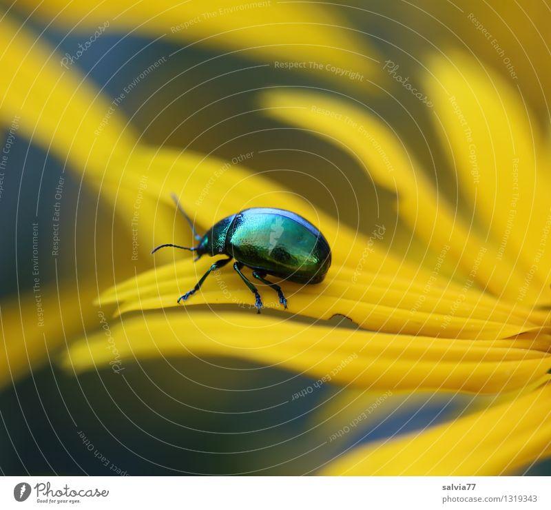Käfer auf Abwegen Natur Pflanze grün Sommer Erholung ruhig Tier gelb Leben Blüte natürlich Gesundheit klein glänzend Zufriedenheit Design