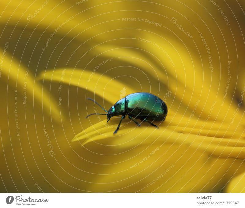 Blütenmeer in gelb harmonisch Wohlgefühl Zufriedenheit Erholung ruhig Duft Natur Pflanze Tier Sommer Blume Garten Käfer Insekt 1 berühren Blühend krabbeln