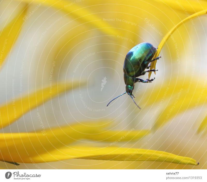 Wendepunkt Natur Pflanze Tier Sommer Blume Blüte Sonnenhut Garten Käfer Insekt 1 Blühend Duft festhalten hängen krabbeln sportlich gelb grün Vertrauen