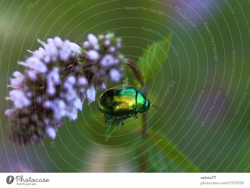 frische Minze Natur Pflanze grün Sommer Blatt Tier Leben Blüte Gesundheit Garten Gesundheitswesen glänzend frisch Blühend violett Insekt