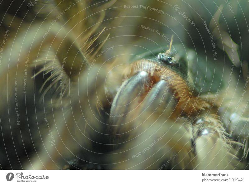 Schau mir in die Augen Kleines! Bildausschnitt Detailaufnahme Riesenvogelspinne Makroaufnahme Vogelspinne Theraphosa Monster