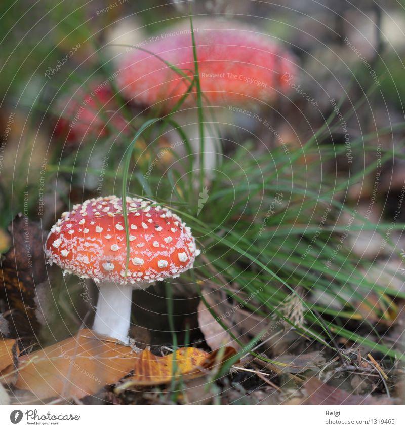 Saison ist eröffnet... Umwelt Natur Landschaft Pflanze Herbst Gras Blatt Pilz Fliegenpilz Waldboden stehen Wachstum ästhetisch schön natürlich braun grün rot