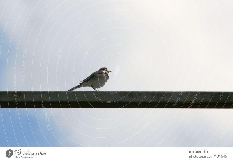 Frühlingsvogel 3 Himmel Wolken Einsamkeit Vogel sitzen Feder Geländer Schnabel Stab Pfeifen Gezwitscher