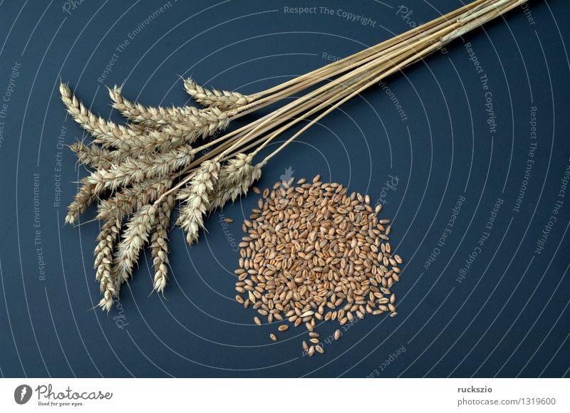 Weizenaehren Natur Pflanze schwarz Hintergrundbild braun Feld frei Getreide Medikament Korn Stillleben Ähren Heilpflanzen Objektfotografie neutral