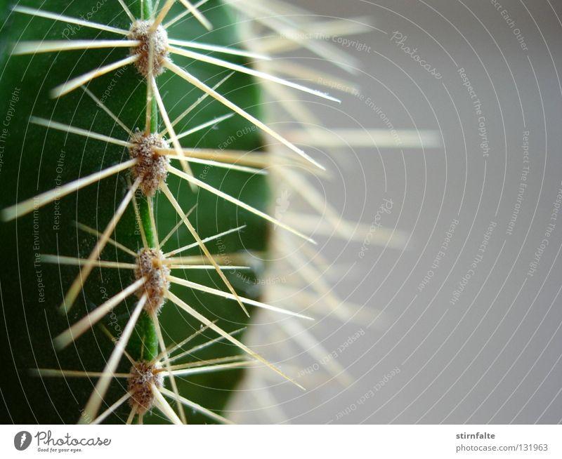 Autsch Kaktus Stachel stechen stachelig grün nah grau Hälfte gefährlich Natur Pflanze Botanik Detailaufnahme Spitze Schmerz Defensive Wüste Makroaufnahme