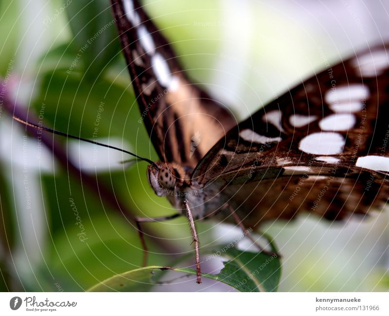 Butterly Singapore Makroaufnahme Nahaufnahme eyes tripical wings brown antena insect Schmetterling