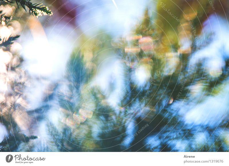 Wacholder.Impression Natur Pflanze Himmel Schönes Wetter Baum Sträucher Grünpflanze Nadelbaum Garten Park glänzend leuchten Wachstum ästhetisch fantastisch