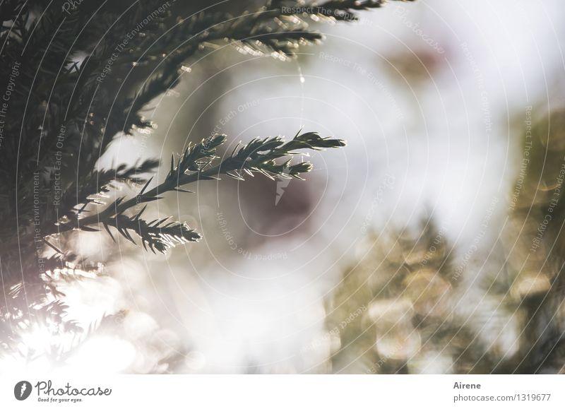 Wacholder im Sommerlicht Natur Pflanze grün schön Sonne Baum ruhig Wald Wärme Glück Garten braun hell glänzend Park