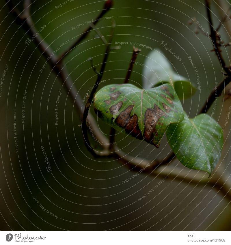 Efeu Natur grün Baum Pflanze Blatt Umwelt Leben Hintergrundbild Kraft geschlossen Sträucher Ast nah Urwald Sonnenschirm reif