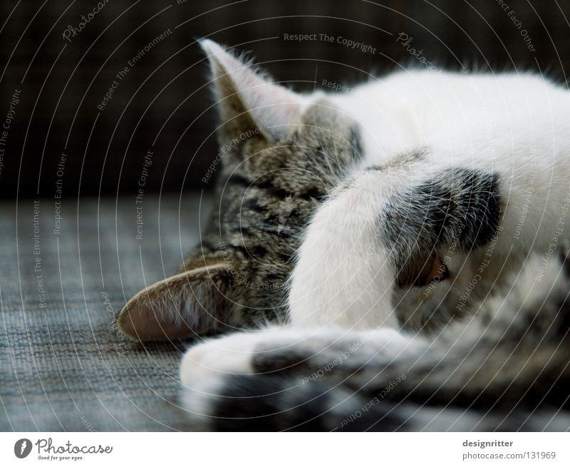 Katze mit Kater schlafen Müdigkeit Pfote Säugetier Hauskatze Ablehnung wach aufwachen Defensive aufstehen zuhalten wecken wehren Rückzug ignorieren