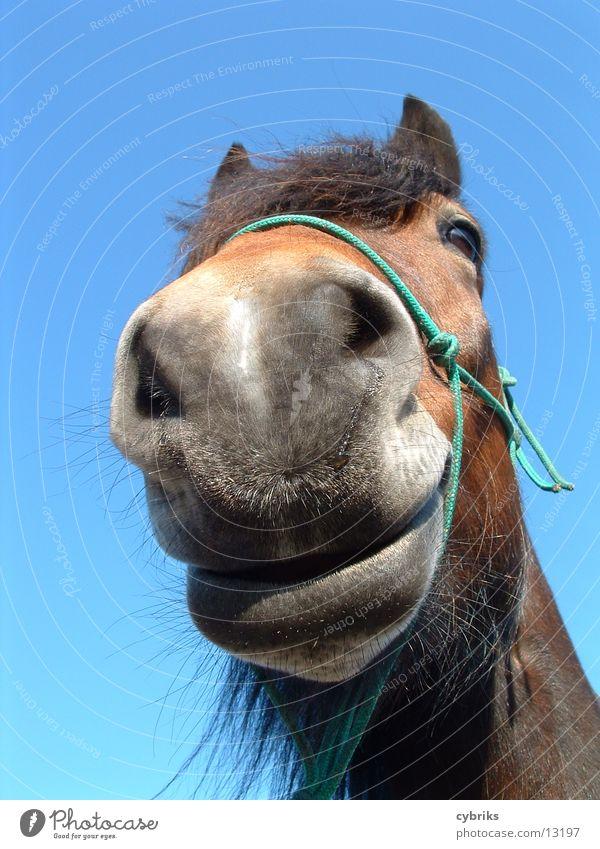 Pferd Tier Tiergesicht 1 frech frei Neugier blau braun Natur Nahbild Maul Farbfoto Froschperspektive Tierporträt