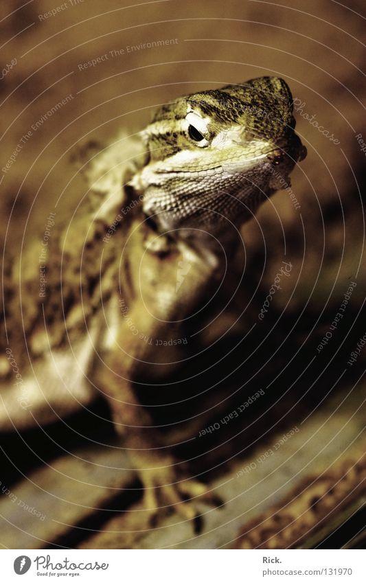 .Ludwig XIV. Tier Auge Sand lachen Fuß Mund Haut Geschwindigkeit Bodenbelag Macht Coolness Neugier Wüste Gelassenheit Zoo Mut