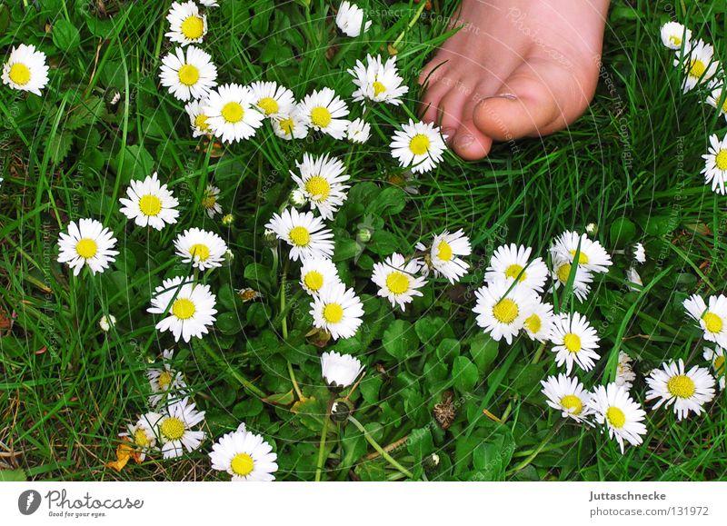 Guten Morgen! Zehen Barfuß Gesundheit Gänseblümchen Wiese Blumenwiese Gras Kinderfuß Zehennagel Fröhlichkeit Sommer Frühling Blüte grün weiß Wohlgefühl Fuß