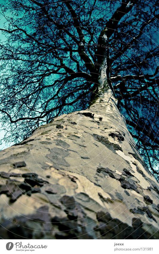 Tarnrinde Zweige u. Äste Geäst Baum Baumkrone Baumrinde Baumstamm Froschperspektive groß hoch kahl Laubbaum Lebensraum Muster Blick nach oben Natur Umweltschutz