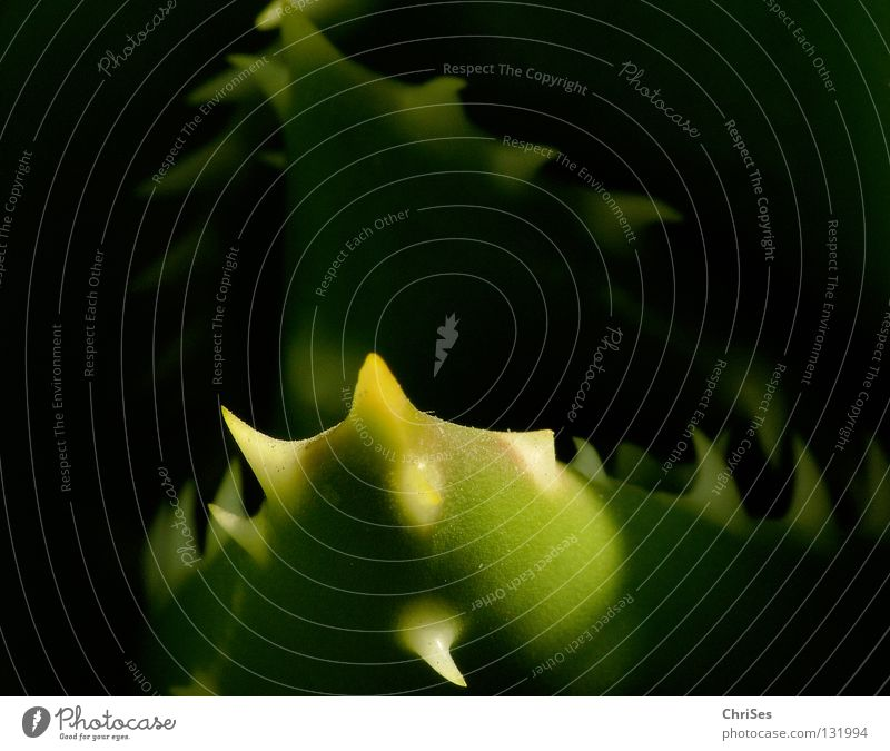 Fleischfresser.....: Agave weiß grün Pflanze Tier schwarz Angst Wüste Gebiss fangen Fressen Vitamin Panik Maul Dürre Kaktus Stachel