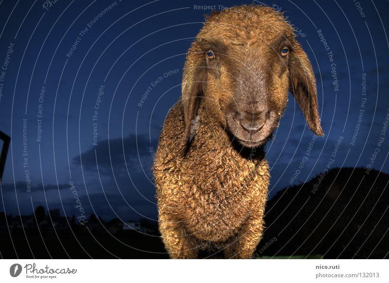 Nachtaktiv Auge dunkel weich Fell Neugier Schaf Säugetier Interesse HDR Tier mäh Dynamikkompression