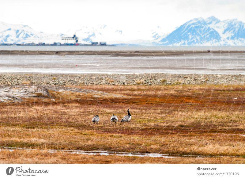 arktischen Tundra schön Ferien & Urlaub & Reisen Sommer Meer Schnee Berge u. Gebirge Natur Landschaft Tier Himmel Wolken Klima Gras Park Gletscher Fjord Vogel