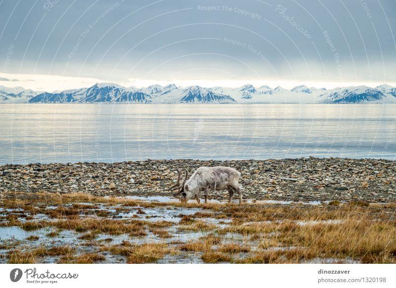 Rentier in der Arktis Natur Mann Sommer weiß Meer Landschaft Tier Wald Erwachsene Berge u. Gebirge Gras natürlich Schnee Essen braun wild