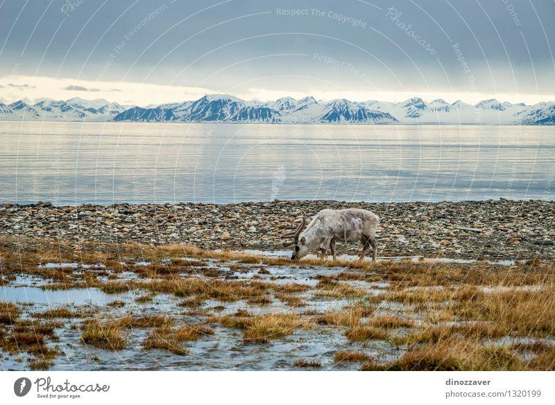 Rentier in der Arktis Essen Sommer Meer Schnee Berge u. Gebirge Mann Erwachsene Natur Landschaft Tier Gras Wald Pelzmantel nass natürlich wild braun weiß