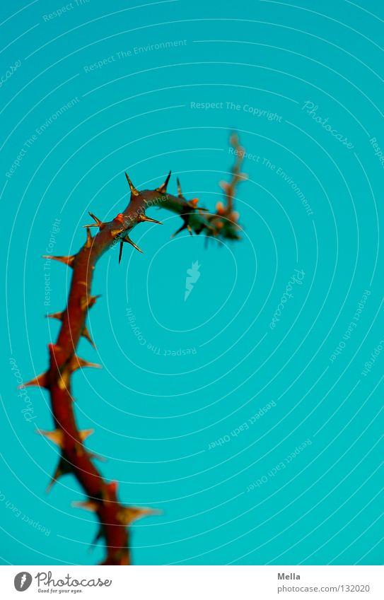 dornenreich II Himmel blau oben hoch Rose Perspektive Wachstum Ast Spitze Richtung aufwärts Tiefenschärfe gegen Zweig zeigen vertikal