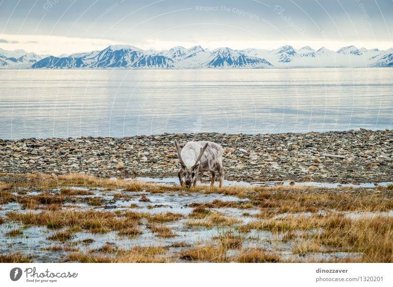 Rentier in der Arktis Natur Mann Sommer weiß Meer Landschaft Tier Wald Berge u. Gebirge Erwachsene Gras natürlich Schnee Essen braun wild