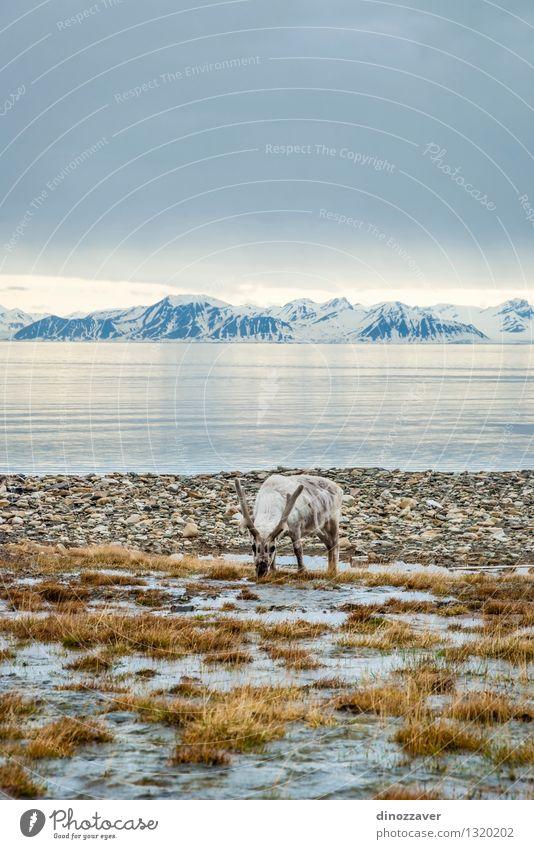 Rückkehr in der Arktis Natur Mann Sommer weiß Meer Landschaft Tier Wald Erwachsene Berge u. Gebirge Gras natürlich Schnee Essen braun wild