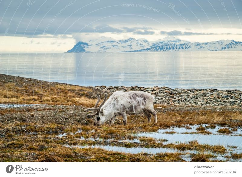 Rückkehr in der Arktis Essen Sommer Meer Schnee Berge u. Gebirge Mann Erwachsene Natur Landschaft Tier Gras Wald Pelzmantel nass natürlich wild braun weiß