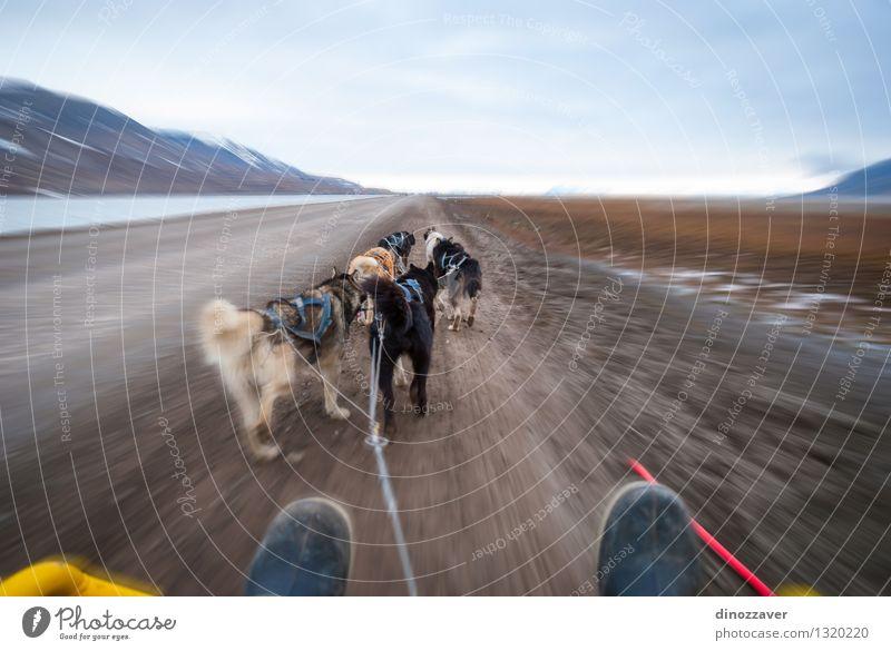Hundeschlitten schön Abenteuer Winter Sport Arbeit & Erwerbstätigkeit Seil Natur Landschaft Tier Pelzmantel Haustier Geschwindigkeit wild weiß Konkurrenz