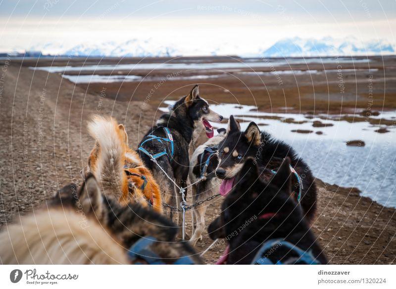 Rodelnde Hunde schön Abenteuer Winter Sport Arbeit & Erwerbstätigkeit Seil Natur Landschaft Tier Pelzmantel Haustier Geschwindigkeit wild weiß Konkurrenz