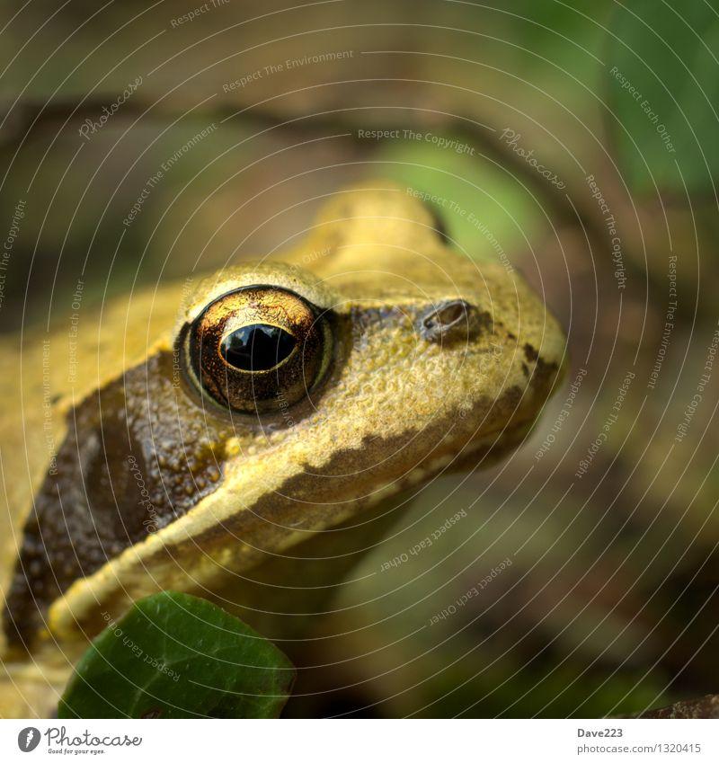 Prinzessinenblick Tier Moor Sumpf Teich See Frosch 1 Froschkönig Küssen Wachsamkeit Auge Brunft beobachten sitzen Neugier schleimig braun gelb schwarz Pause