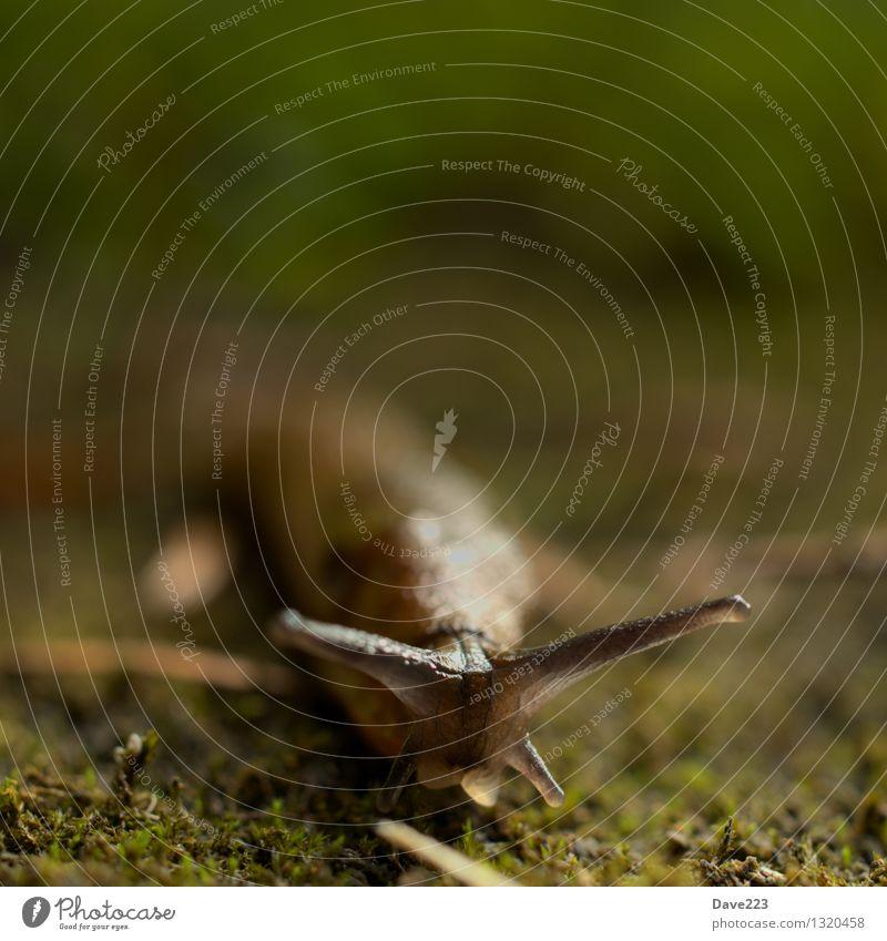 Komm zu mir, kleine Nacktschnecke Schnecke Kopf Erde Moos Wildtier 1 Tier schleimig Schleimer rennen Fressen liegen Ekel lang nackt weich braun grün Tierliebe