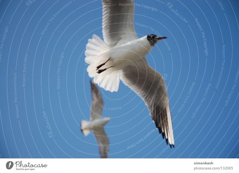Möwe Jonathan Himmel blau Sommer Vogel fliegen Frieden Flügel Schönes Wetter Möwe