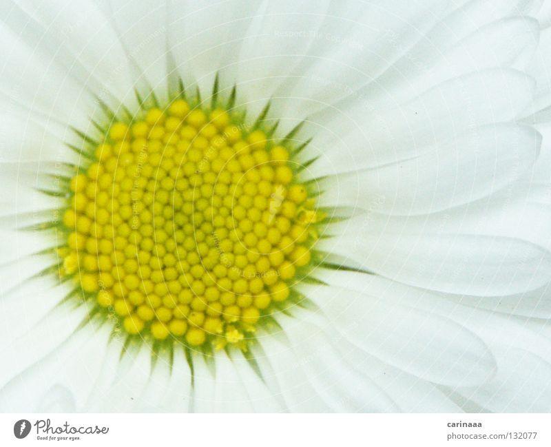 Der Frühling kommt schön weiß Blume Pflanze Sommer ruhig Blüte hell harmonisch Blütenblatt grün-gelb
