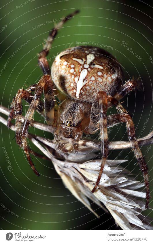 Kreuzspinne auf Kornähre Tier Nutzpflanze Spinne Tiergesicht 1 beobachten sitzen gruselig stachelig trocken braun Ekel achtbeinig behaart Insekt kreuzspinne