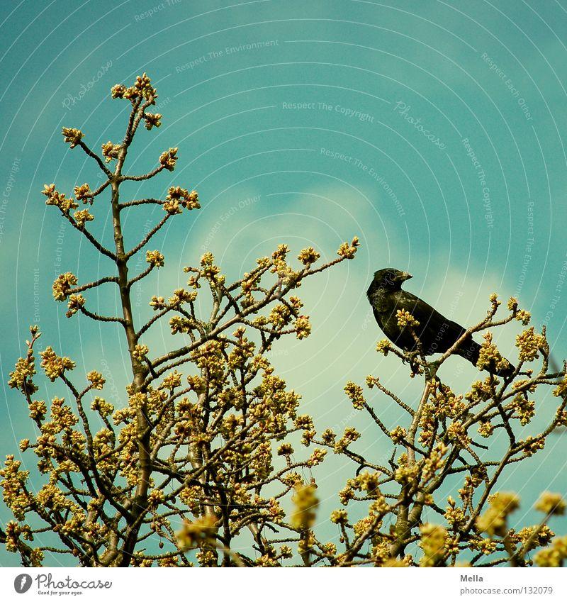 Krähenfrühling Umwelt Natur Pflanze Tier Frühling Wärme Baum Blüte Zweige u. Äste Baumkrone Vogel 1 hocken Blick sitzen frei natürlich Spitze blau Perspektive
