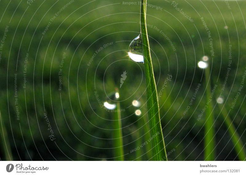 Morgentau Wassertropfen Gras Halm Wiese grün nass Reflexion & Spiegelung Tau