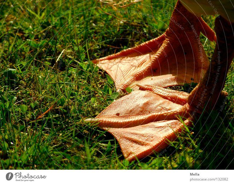 Gänsefüßchen Gans Hausgans Vogel Anführungszeichen Gras Wiese grün watscheln Zehen Tier Haustier Nutztier Bauernhof Landwirtschaft ländlich Idylle ökologisch