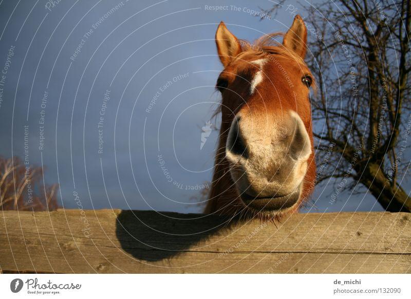 Fotogeiles Pferd Baum Tier braun Neugier Zaun Säugetier Schnauze