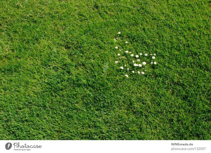 29? Gänseblümchen Blume Blüte Wiese Gras Park grün Haufen Angriff ausbreiten Halm Frühling Sommer Aufstand Rasen Garten Natur weis niedlig. niedlich invasion