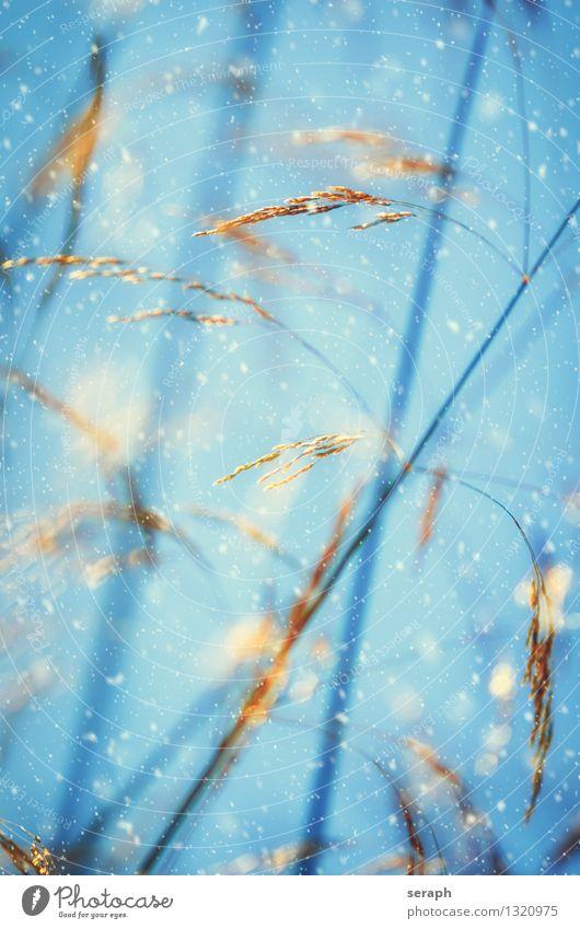 Grasland Schwache Tiefenschärfe Halm Stengel Ähren Blüte Samen Wiese Natur Makroaufnahme abstrakt Romantik Winter Schneefall Schneeflocke Wind Sturm Wetter