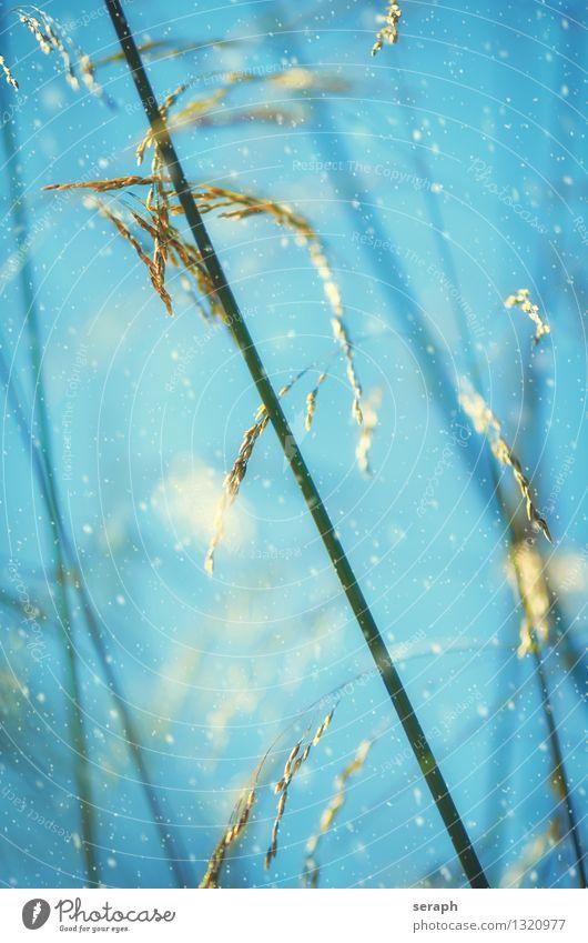 Grasland Winter Natur Pflanze Eis Frost Schnee Blüte Wiese weich Halm Schneefall Schneeflocke Romantik Idylle Stimmung dramatisch Blatt Samen Schilfrohr