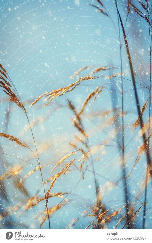 Gräser Schnee Unschärfe Blume Samen ornamental Sonne Sonnenstrahlen Halm Jahreszeiten Schneeflocke Licht Blatt Schneefall Gras Natur Romantik Kräuter & Gewürze