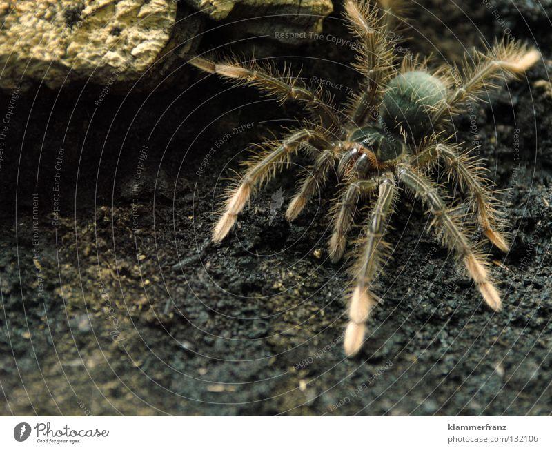 Emanuella's Freigang Terrarium Erde Spinnenbeine Monster Theraphosa Vogelspinne Riesenvogelspinne Nahaufnahme Ganzkörperaufnahme krabbeln