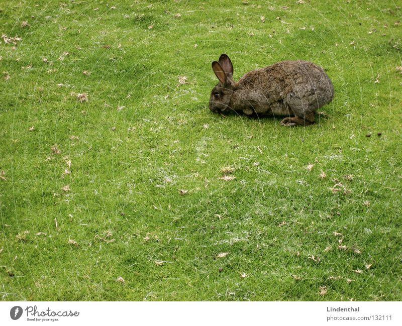 Lecker... Halme !!!! Hase & Kaninchen Wiese Fressen lecker hüpfen lang rechts grün Tier Säugetier bunny Ernährung mhh mmh Ohr oben rammler Osterhase