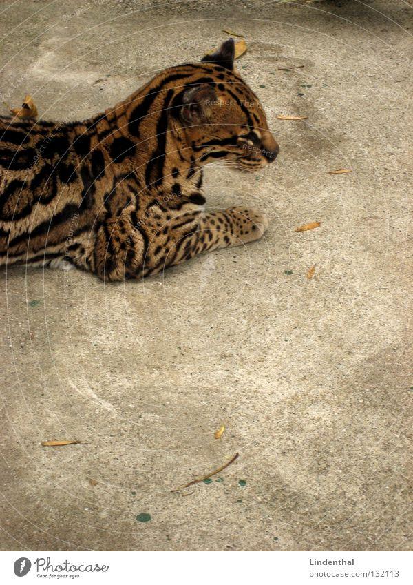Irgendsone Wildkatze... Katze Tier ruhig Fell Gelassenheit Säugetier Bildausschnitt Anschnitt Ozelotkatze