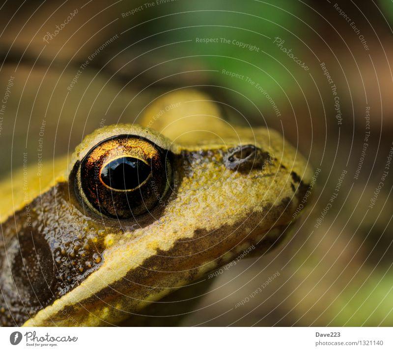 Beobachtet Haut Gesicht Zufriedenheit Tier Teich Wildtier Frosch Tiergesicht 1 beobachten Erholung Küssen Blick träumen Ekel kalt nass schleimig braun gelb grün